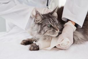 Vet doing bandage at grey catの写真素材 [FYI00003965]