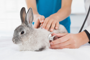 Vet examining a bunny with its ownerの写真素材 [FYI00003976]