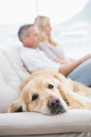 Dog lying on the couch with the couple sitting behindの写真素材 [FYI00003988]