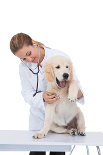 Vet giving a puppy a check upの写真素材 [FYI00004061]