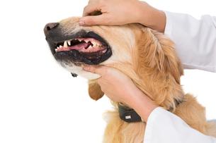 Veterinarian examining teeth of a cute dogの写真素材 [FYI00005818]