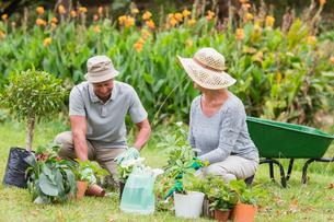Happy grandmother and grandfather gardeningの写真素材 [FYI00007370]