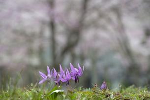 かたくりと桜の写真素材 [FYI00023522]