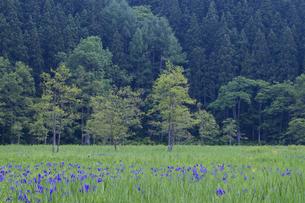 カキツバタ咲く親海湿原の写真素材 [FYI00023536]