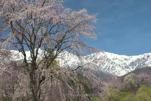 大出公園の枝垂れ桜 - 白馬三山を背景にの写真素材 [FYI00023538]