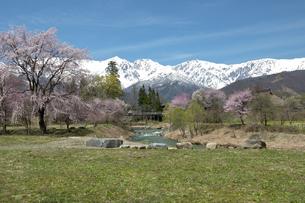 大出公園の春 - 満開の桜と白馬三山の写真素材 [FYI00023541]