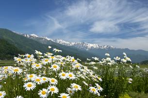 マーガレットと白馬連峰の写真素材 [FYI00023544]