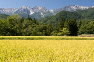 稲刈り前の栂池前山地区より白馬三山の写真素材 [FYI00023556]