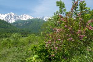 初夏の白馬三山とタニウツギの写真素材 [FYI00023557]