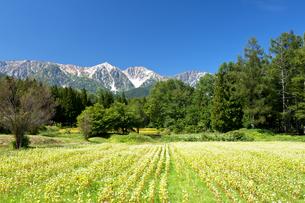 蕎麦の花と快晴の白馬三山の写真素材 [FYI00023558]