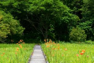 親見湿原のコオニユリ3の写真素材 [FYI00023559]