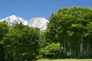 初夏の陽光に輝く岩岳山頂のブナ林の写真素材 [FYI00023583]