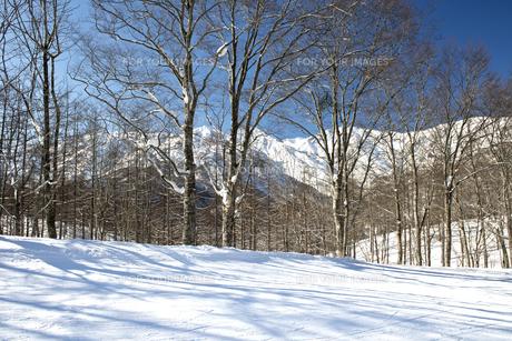 ブナ林の樹影-岩岳スキー場にての写真素材 [FYI00023592]