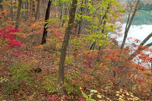 青木湖畔の秋の彩りの素材 [FYI00023620]