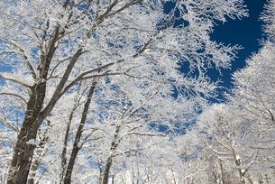 岩岳山頂ブナ林の霧氷5の写真素材 [FYI00023696]