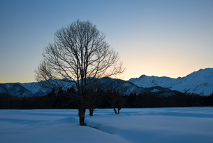 雪原のコブシと北アルプスの写真素材 [FYI00023714]