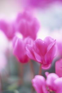 優しいシクラメンの花の写真素材 [FYI00024618]