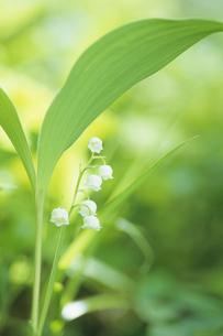 スズラン、Lily of the valley,の写真素材 [FYI00024633]