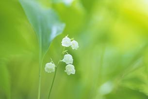 スズランの花、Lily of the valley flowers,の写真素材 [FYI00024645]
