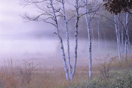 朝霧と白樺、Morning mist and white birch,の素材 [FYI00024650]