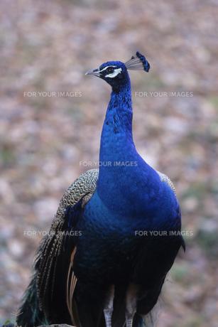 青クジャク、Blue peacockの写真素材 [FYI00024654]
