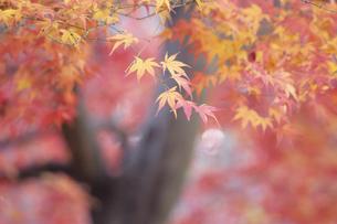 紅葉の季節、Season of autumn leavesの写真素材 [FYI00024675]
