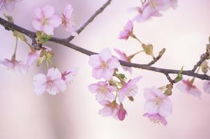 可憐な河津桜の素材 [FYI00024712]