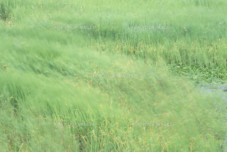 風にゆれる草原、Grassland to sway in the windの素材 [FYI00024726]