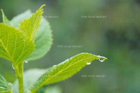 アジサイの若葉と一粒のしずく、Drops of hydrangea of young leaves and grainの素材 [FYI00024729]