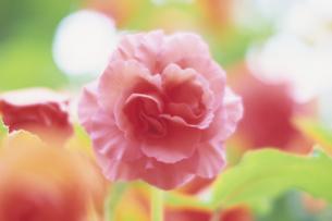 柔らかなピンクの花、Soft pink flowerの写真素材 [FYI00024730]