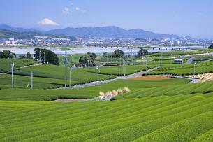 富士山と茶畑2、Fuji and tea plantations,の写真素材 [FYI00024734]