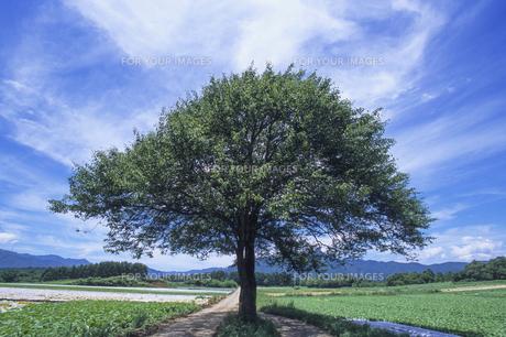 青い空と大樹、Blue sky and Taiki,の素材 [FYI00024736]
