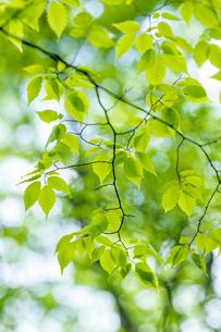 白い丸ボケと新緑の枝、Branch of the white circle blur and fresh greenの素材 [FYI00024743]