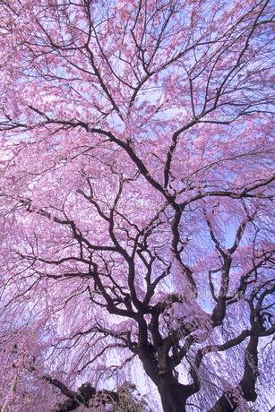 枝垂れ桜、Weeping cherry tree,の素材 [FYI00024744]