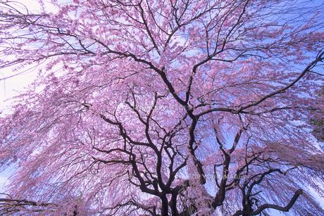 枝垂れ桜、Weeping cherry tree,の素材 [FYI00024754]