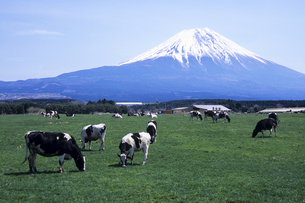 富士を臨む朝霧高原と牛、Asagiri Plateau and cattle that faces the Fuji,の写真素材 [FYI00024755]