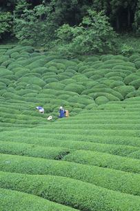 茶畑と働く人、Workers and tea plantations,の写真素材 [FYI00024763]