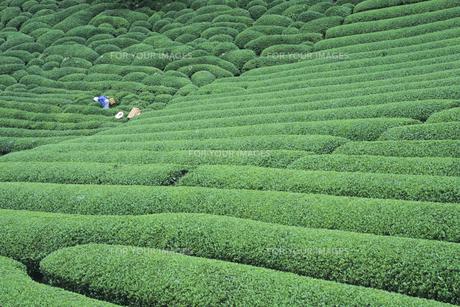 茶畑と農婦、Tea plantations and No-fu,の素材 [FYI00024766]