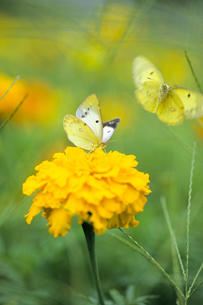 花と蝶々、Flowers and butterfly,の写真素材 [FYI00024768]