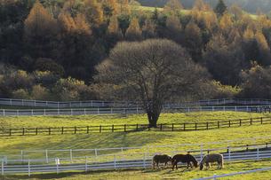 牧草を食べる馬たち、Horses who eat the grass,の素材 [FYI00024769]