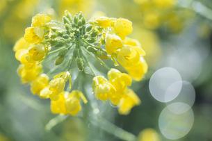 朝露と菜の花、Morning dew and rape,の素材 [FYI00024777]