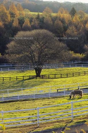 牧草を食べる馬、Horses eat grass,の素材 [FYI00024778]