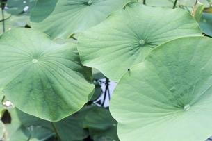 ハスの葉、Lotus leaf,の写真素材 [FYI00024782]