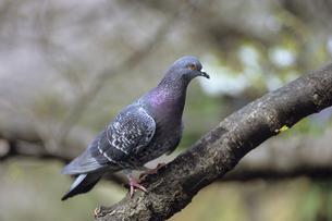鳩の横顔、Dove of profile,.の写真素材 [FYI00024790]