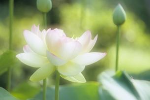 ハスの花、Lotus flower,の写真素材 [FYI00024799]