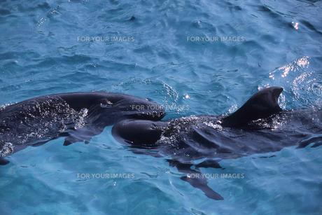 仲良しのイルカ、Good friend of dolphin,.の写真素材 [FYI00024802]