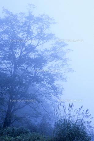 霧と木々たち、Fog and Trees,の素材 [FYI00024806]