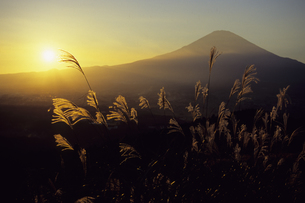 夕富士とススキ1、Evening Fuji and pampas grass 1,.の写真素材 [FYI00024819]