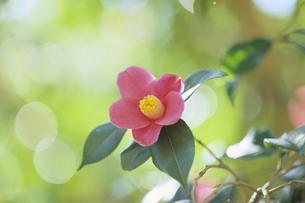 一輪の椿、One wheel of camelliaの写真素材 [FYI00024837]