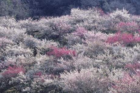 紅白のウメ林、Plum forest of red and whiteの素材 [FYI00024840]